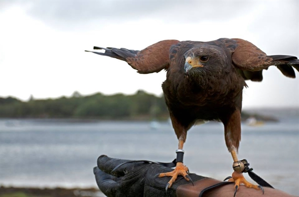 Falconry Raptor Flying Experience